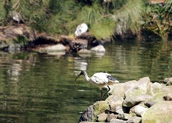Australian ibis standing on rocks near water