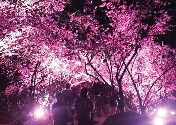 Auburn Cherryblossom Festival at night