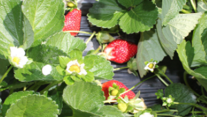 Climate-proof strawberries