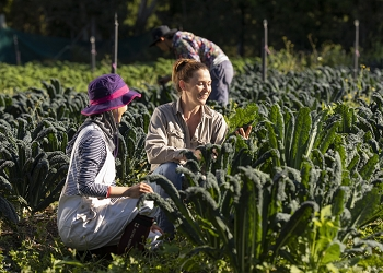 Workers picking kale